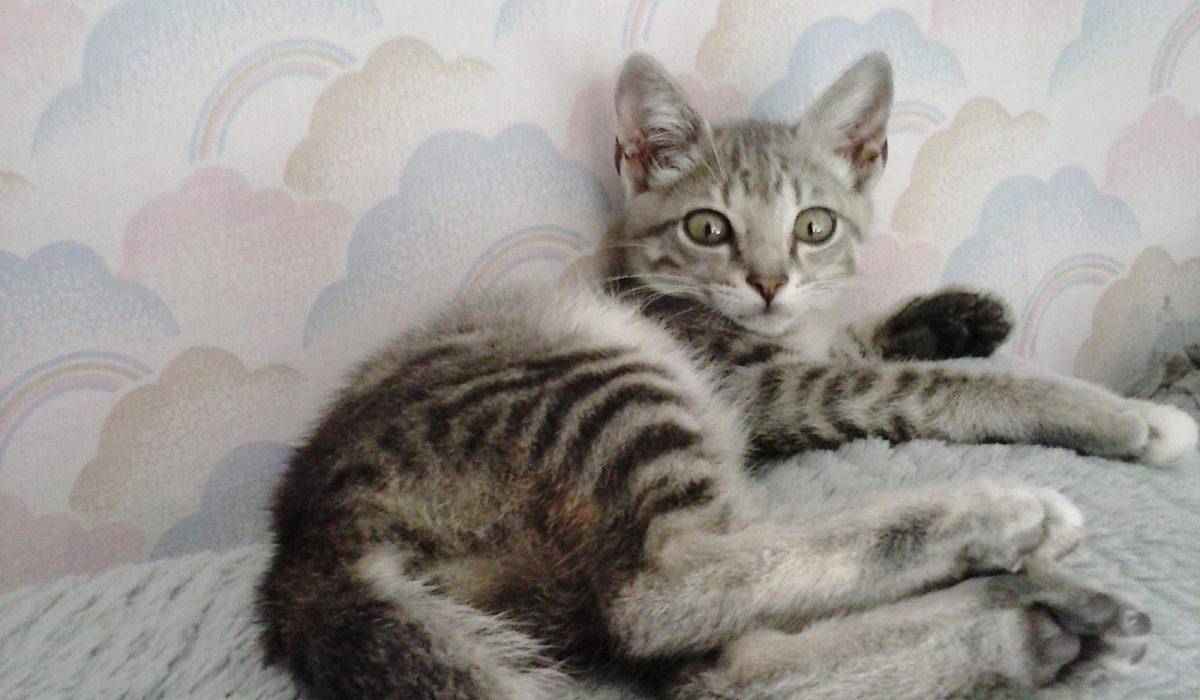 Kattia gata cachorro en adopción PRODA Vinaros Castellón