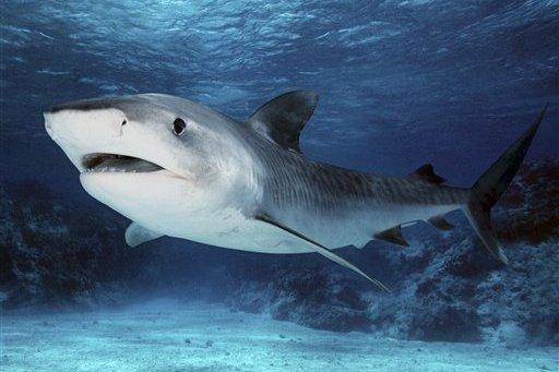 Tubarão Tigre