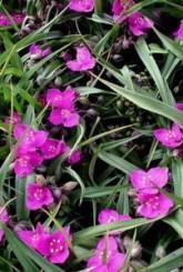 традесканция садовая сорта