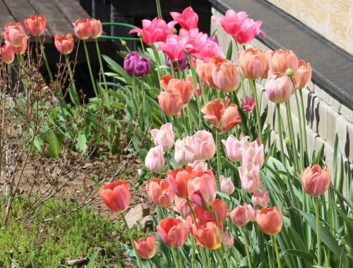 Нужно ли выкапывать тюльпаны каждый год?