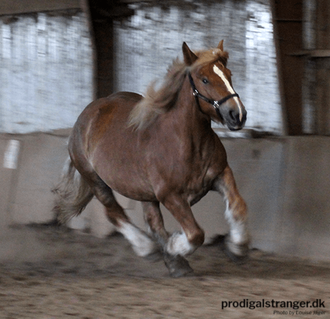 Don't let them tell you that heavy draft horses cannot run. Emilie loves to run.