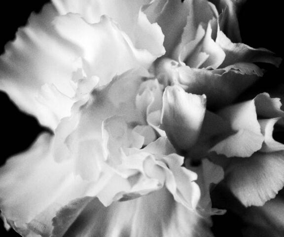 fleur blanche fond d ecran