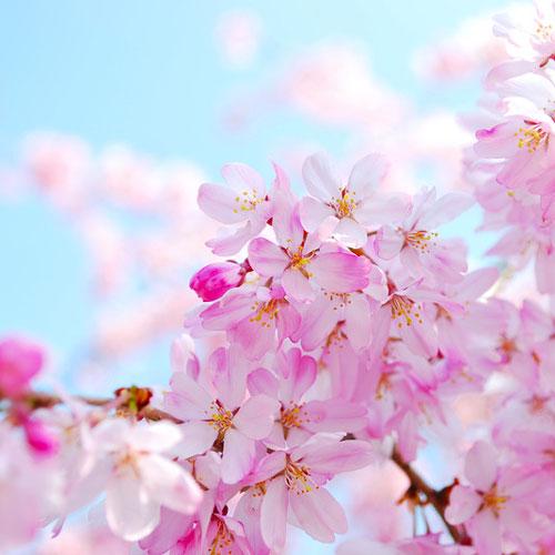 Cherry Blossom Fragrance Oil