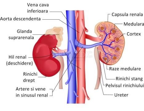 urocistin-sistemul-renal
