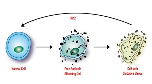 Protandim-pret-antioxidant-natural-NRF2-beneficii