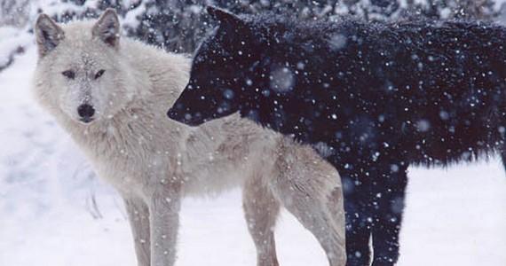 волки оборотень