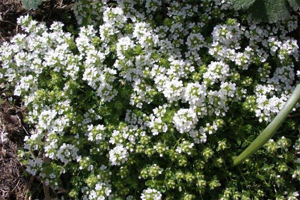 Jamaika Blume zum Abnehmen Kontraindikationen