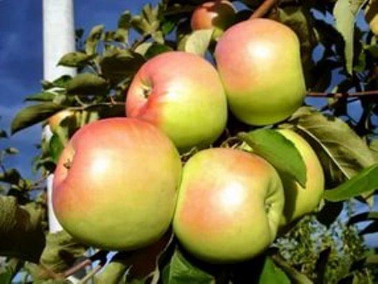 Описание сорта яблони Северный Синап. Яблоня «Северный ...
