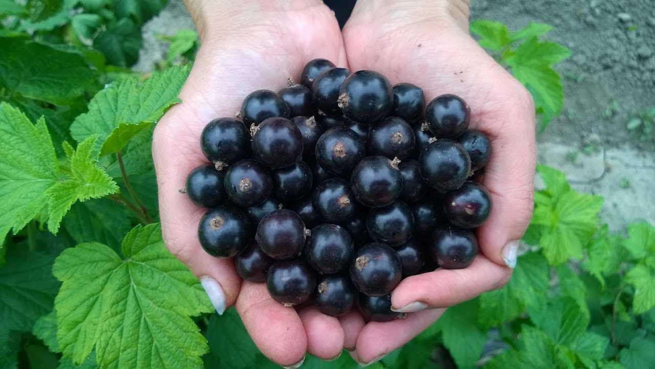 Berry asit (kırmızı kuş üzümü): açık yerde dikim ve bakım, hastalıklar ve tedavi, yararlı özellikler 7