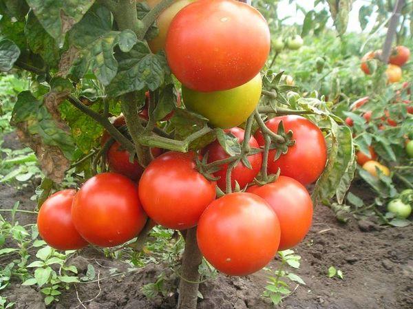 Штамбовые сорта используют для промышленного выращивания, они неприхотливы