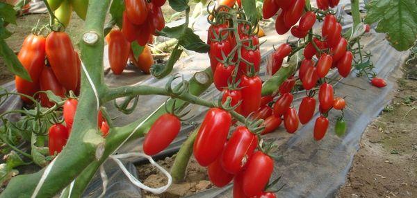 Общая урожайность детерминантных сортов ниже, чем индетерминантных
