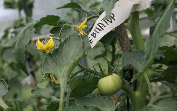 Сорт Евпатор плодоносит до заморозков