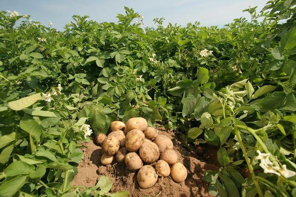 В южных регионах хорошо растет ранний и ультраранний картофель