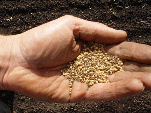 Чтобы улучшить состояние почвы после томатов можно посеять горчицу
