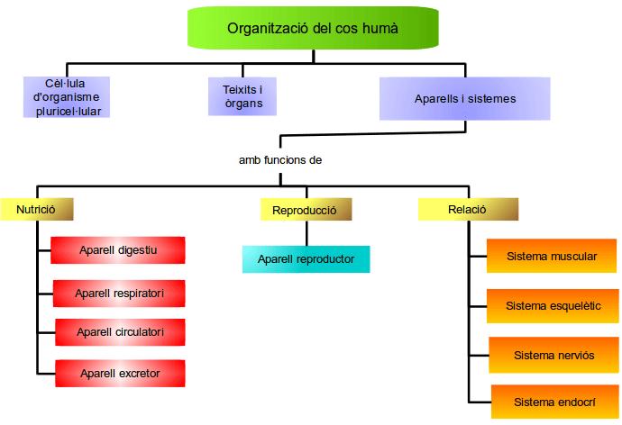 Resultat d'imatges de funció, sistema, aparell, òrgan