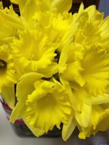 happy spring daffodils