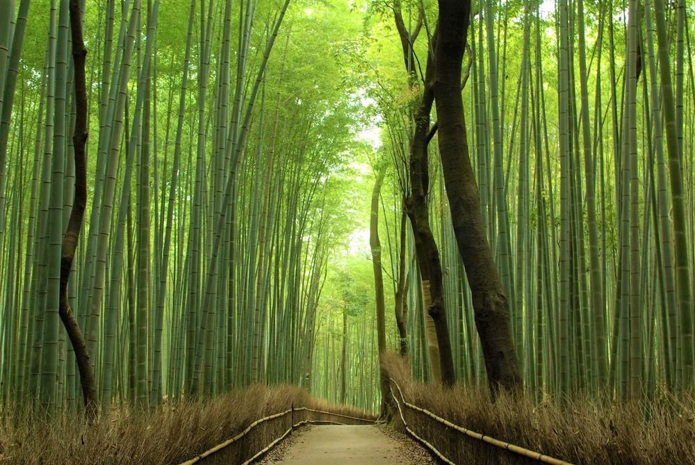 Kyoto Arashiyama Bamboo grove in Japan