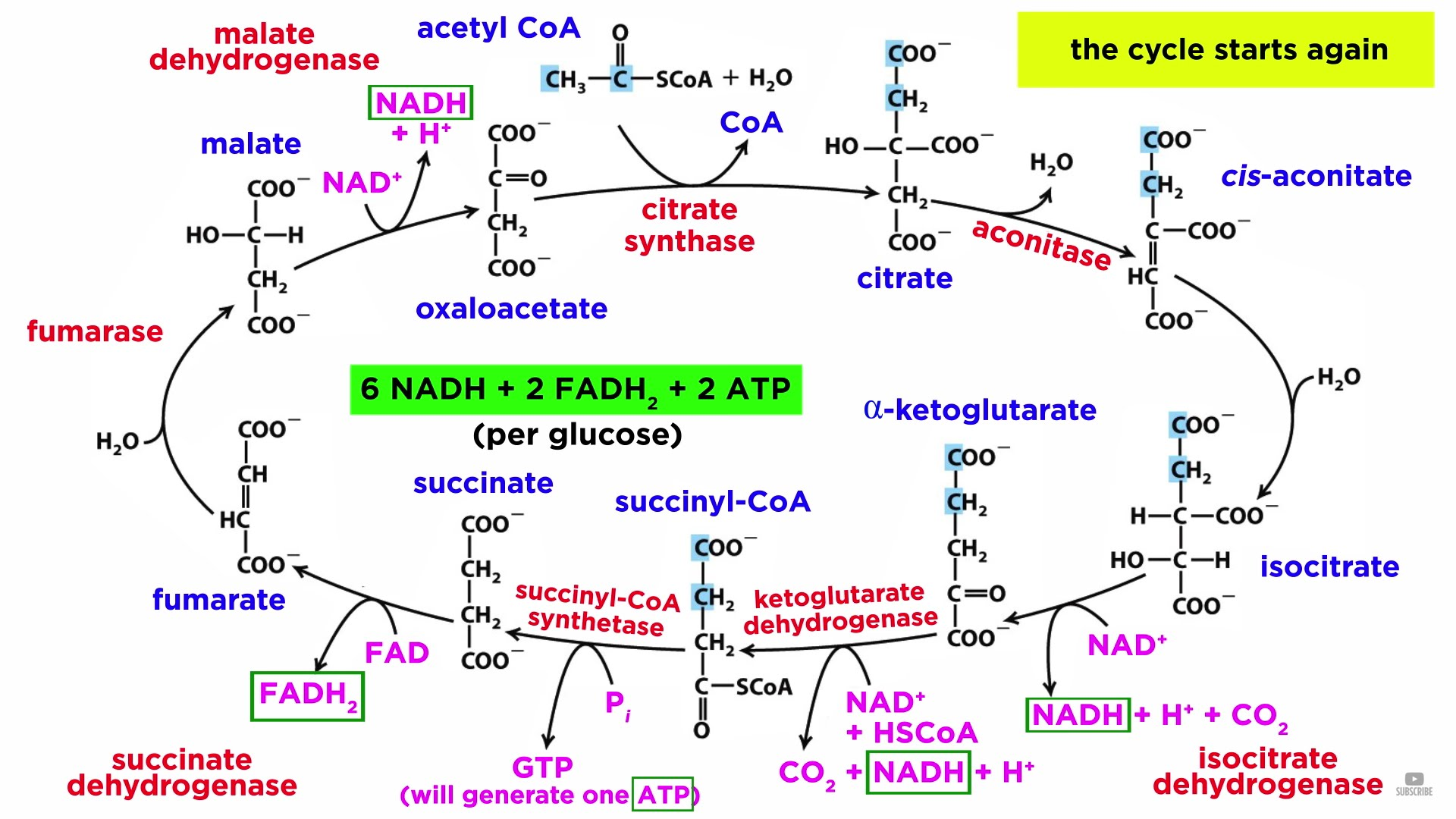 Cellular Respiration Part 2 The Citric Acid Cycle