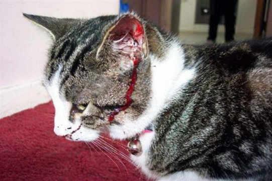 cara-mengobati-luka-kucing-berlubang-bernanah-agar-cepat-kering-secara-alami-dengan-obat-tradisional