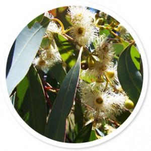Minyak Eucalyptus