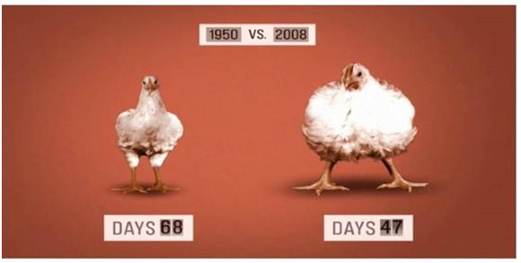 Ayam Kampung Sejuk Frozen yang ada dijual