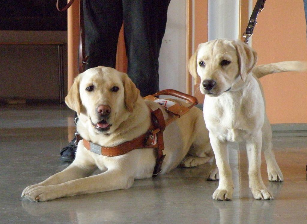 29. Januar ist der Gedenktag für den Blindenführhund