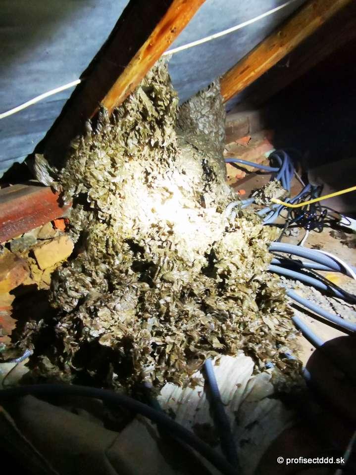 osie hniezdo v podkroví rodinného domu
