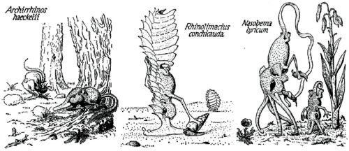 Three snouters: Archirrhinos haeckelii, Rhinolimacius conchicauda, Nasobema lyricum (Order Rhinogradentia), from Stumpke (1961).