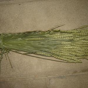 Espigas trigo cor natural 200gr