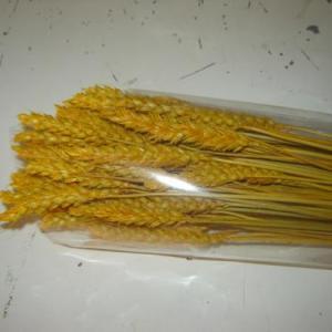 Espigas trigo amarelo