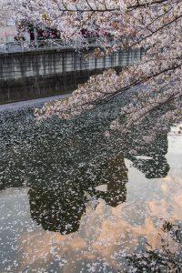 Cerezos en flor en Naka-Meguro