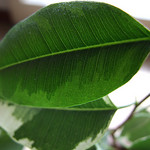 ficus_leaf