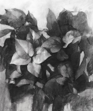 """Maranta"", 2015, charcoal on paper, 18 x 24"""