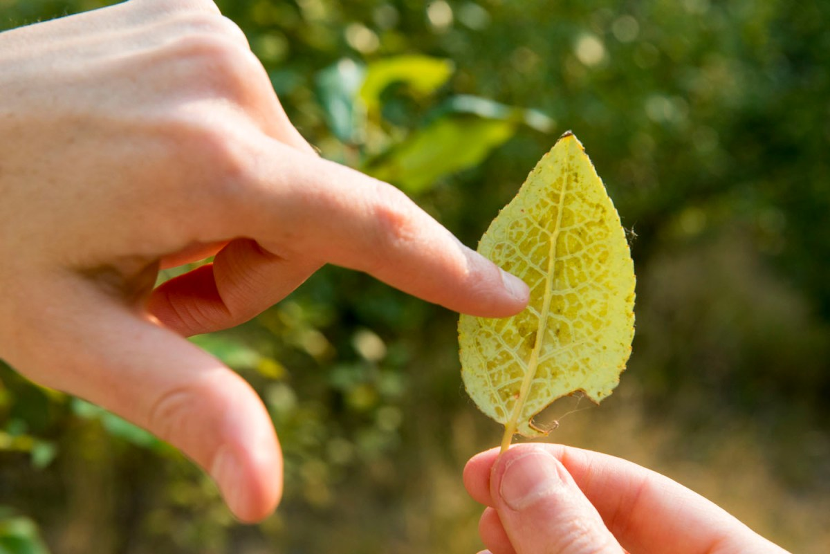Diseased poplar leaf.