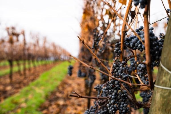 Smoke damaged vineyard
