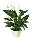 PRODUCT_PLANTS_Peace_Lily_large