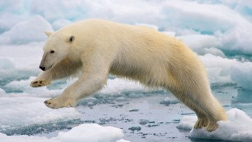 Polar bear struggling on ice.