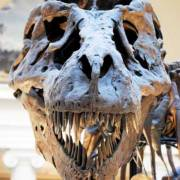 Photo Courtesy of: http://upload.wikimedia.org/wikipedia/commons/1/18/Sue_TRex_Skull_Full_Frontal.JPG