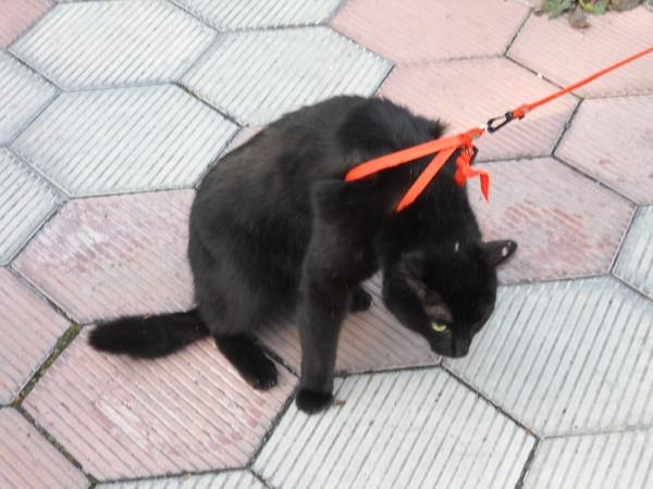 Как надеть шлейку на кошку: пошаговая инструкция с фото ...