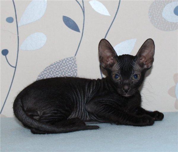 Голая кошка сфинкс: особенности канадской, донской и ...
