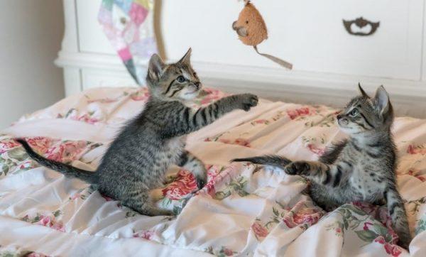 Котята играют с игрушечной мышкой