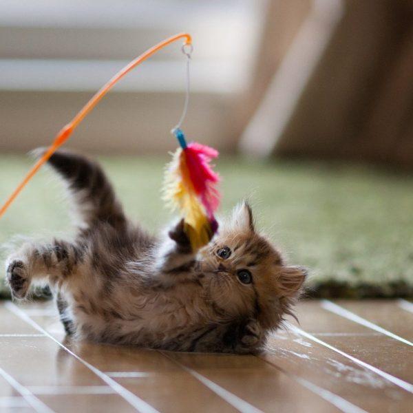 Котёнок играет с удочкой