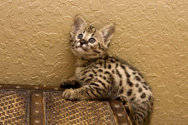 Ашера кошка: фото, описание породы, характер, цены