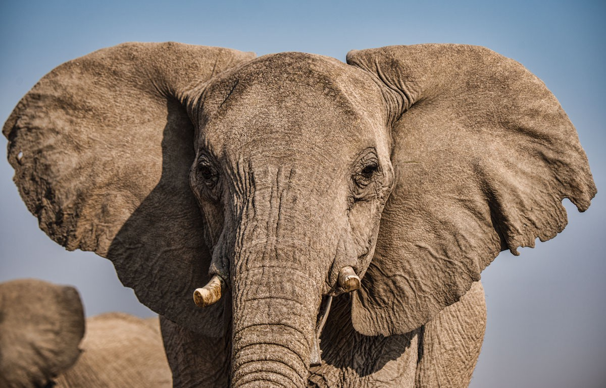 Do You Speak Elephant Stanford Magazine