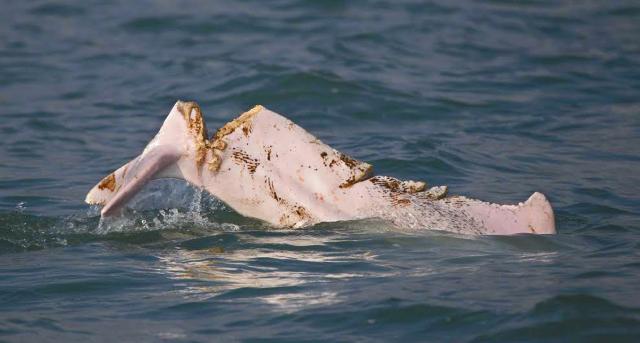 White_Dolphins.jpg