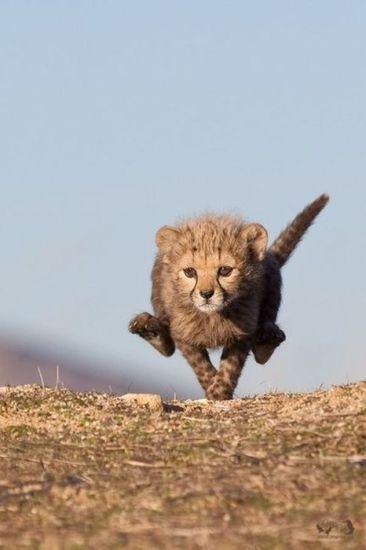 cheetahcub