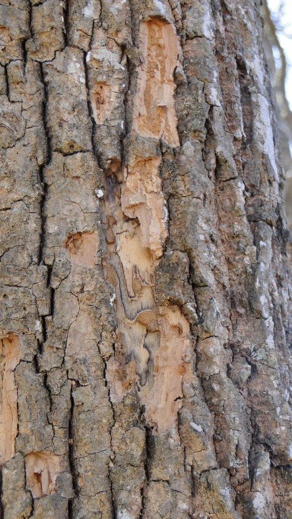 Pileated Scaling on Snag - East Central Louisiana 2011