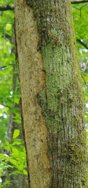 Detail of Suspected Ivorybill Scaling on Dying Hickory
