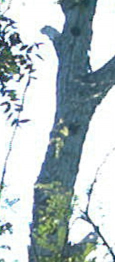 Detail from 1095 - Note apparent light colored object (possibly a bill) apparently protruding from an bisecting the lower cavity
