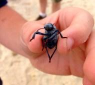 Big Beetle, Baja, Mexico
